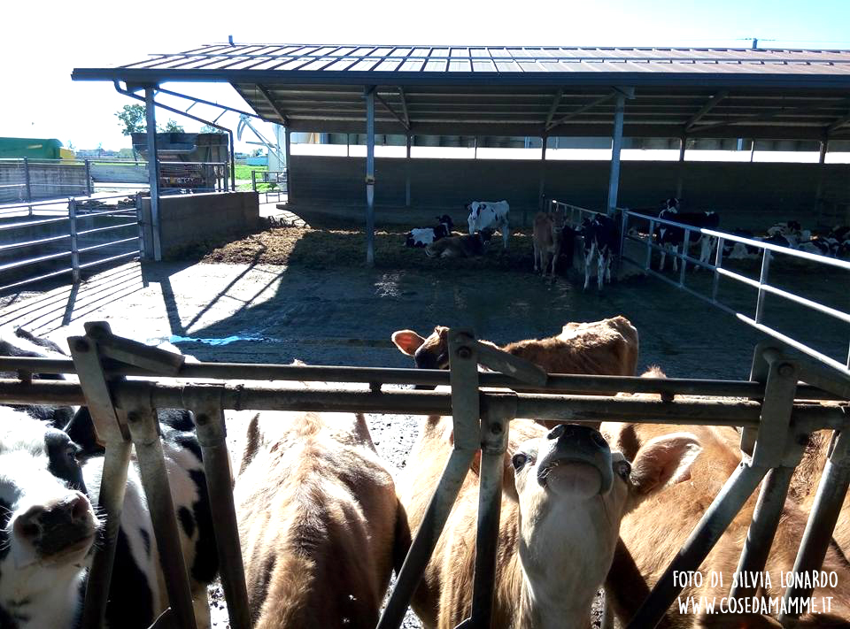mucche-allevamento-latte